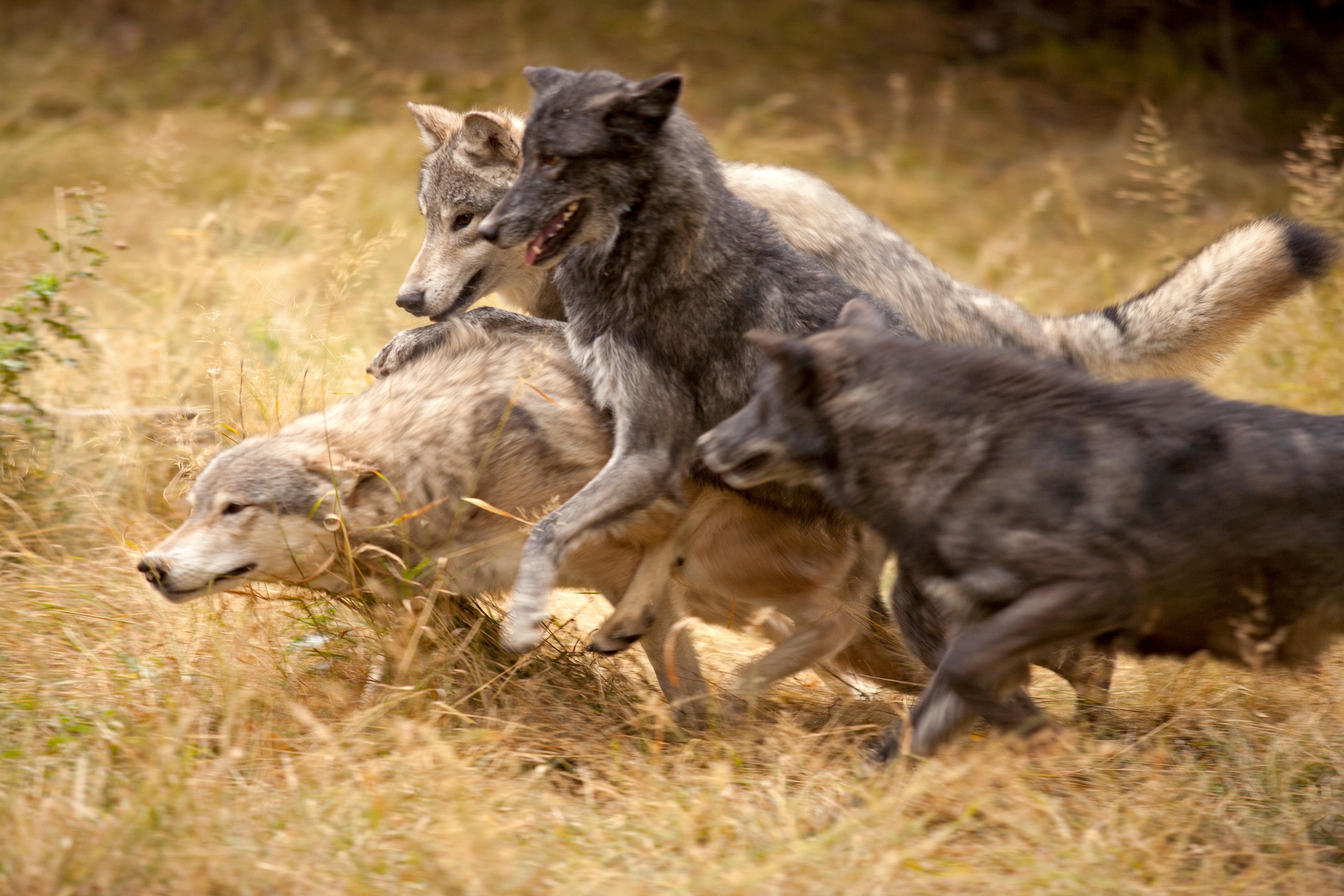 jeffmcgraw-photocase-greywolfpackatplay