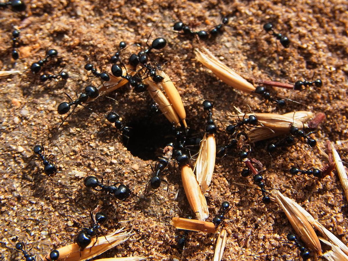 1200px-Ants_CBMen_4